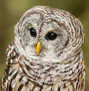 Barred owl - Close-up, Ontario, Canada