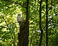 Barred Owl visit (Unsplash).jpg