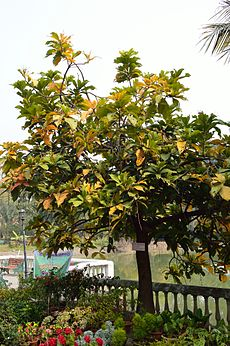Barringtonia racemosa - Agri-Horticultural Society of India - Alipore - Kolkata 2013-01-05 2250.JPG