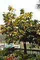 Barringtonia racemosa - Agri-Horticultural Society of India - Alipore - Kolkata 2013-01-05 2250.JPG