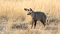 Bat-eared fox, Otocyon megalotis, at Kgalagadi Transfrontier Park, Northern Cape, South Africa (34649394370).jpg