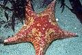 Bat star (3367024852).jpg