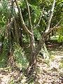 Bauhinia Picta - Arbre.jpg