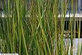 Baumea rubiginosa Variegata 1zz.jpg