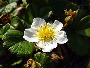 Fragaria chiloensis - Image: Beach Strawberry (Fragaria chiloensis)