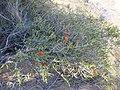 Beaufortia aestiva (habit) growing near Binnu.JPG