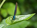 Beautiful Damselfly (Calopteryx virgo) male (13991951369).jpg