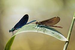 Beautiful Demoiselle Calopteryx virgo male female.jpg