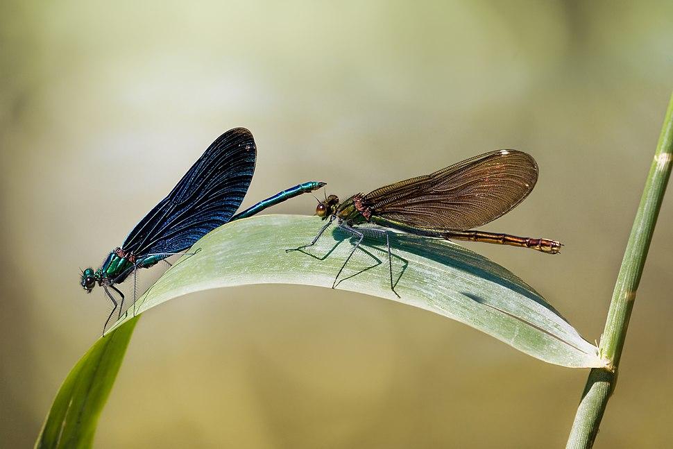 Beautiful Demoiselle Calopteryx virgo male female