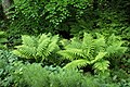 Beech, ferns and lily of the valley in Gullmarsskogen 2.jpg