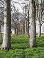 Beech Plantation near Myton. - geograph.org.uk - 365708.jpg