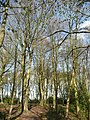 Beeches in Burton's Wood - geograph.org.uk - 754783.jpg