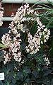Begonia rhizocaulis Plant.jpg