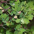 Berberis thunbergii (leaf s2).jpg