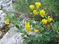 Berberis vulgaris ssp cantabrica 1 (Picos).JPG