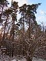 Berkovets forest.JPG