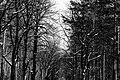 Berlin-Grunewald, Naturfotografie 19, Wald, Bäume mit Schnee, März 2013.jpg