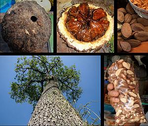 Brazil nut - Image: Bertholletia excelsa compose