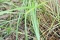 Beschorneria septentrionalis 0zz.jpg