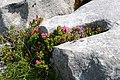 Bewimperte Alpenrose (Rhododendron hirsutum) im Disnergschröf.JPG