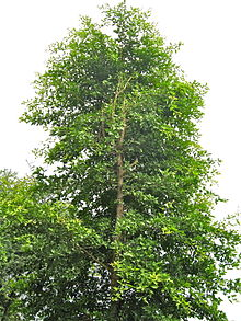Aegle Marmelos Wikipedia