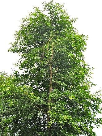 Aegle marmelos - Bili tree