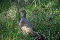 Bird at Brodick Castle.jpg