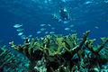 Biscayne National Park H-snorkel on elkhorn.jpg