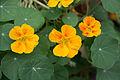Blüten der Kapuzinerkresse Augsburg Juni 2015 8623.jpg