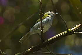 Black-billed Peppershrike - Ecuador S4E3905 (22586281998).jpg