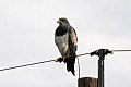 Black-chested Buzzard-Eagle (Geranoaetus melanoleucus) (8077641902).jpg