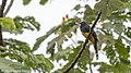 Black-headed Trogon, Costa Rica, January 2018 (40894531561).jpg
