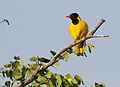 Black-headed oriole, Oriolus larvatus, at Mapungubwe National Park, Limpopo, South Africa (18202552711).jpg