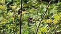 Black Swallowtail (14415234866).jpg