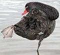 Black Swan on Lake Burley-Griffin+ (109473621).jpg