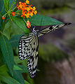 Black and White Butterfly 1 (7974363636).jpg