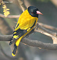 Black hooded Oriole I2 IMG 7932.jpg
