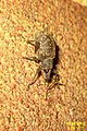 Black vine weevil (FG) (7453423740).jpg