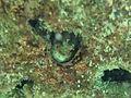 Blenniella chrysospilos Landaagiraavaru.JPG