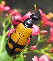 Blister beetle (6802653778).jpg