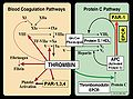 Blood Coagulation and Protein C Pathways.jpg