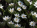 Bloodroot (Sanguinaria canadensis) - Guelph.jpg