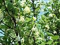 Blooming Lonicera caerulea.JPG