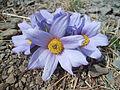 Blossom in Mongolian steppe.jpg