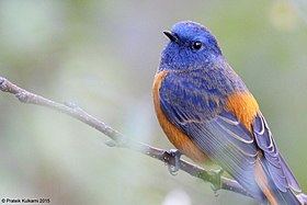 Blue-fronted Redstart (male).JPG