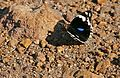 Blue Pansy (Junonia oenone) male (17047926857).jpg