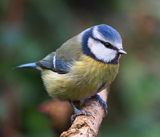 Blue tit three-quarter close-up 4.jpg