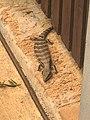Blue tongue lizard - Australia.jpg