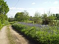 Bluebells in Alderholt Park - geograph.org.uk - 80389.jpg