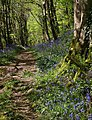 Bluebells in Woodleigh Wood - geograph.org.uk - 1297209.jpg